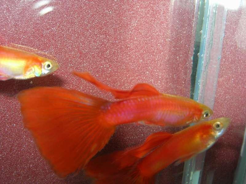 Как выглядят беременные аквариумные рыбки 277