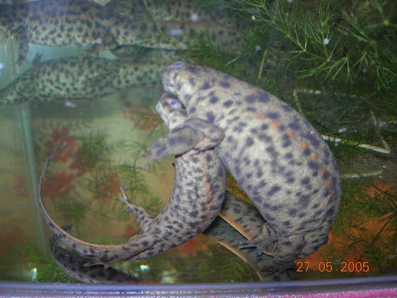 Испанские тритоны. Содержание в домашнем аквариуме. : Сибмама - о
